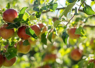 apple-trees04